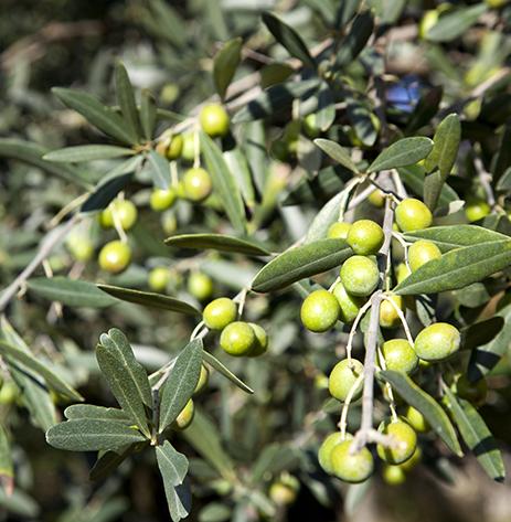L'olio ottenuto dalle olive della Sabina gode di una fama plurimillenaria